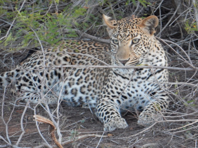 Game Drives in Kruger Park Zuid Afrika