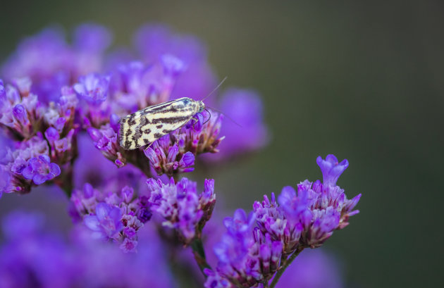 Een onbekende vlinder