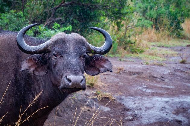 Buffel in de regen