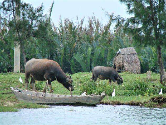 Buffels langs de waterkant.