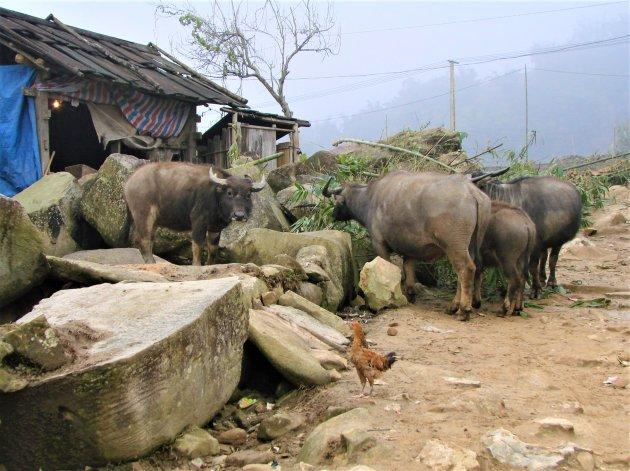 Buffels in de bergen.