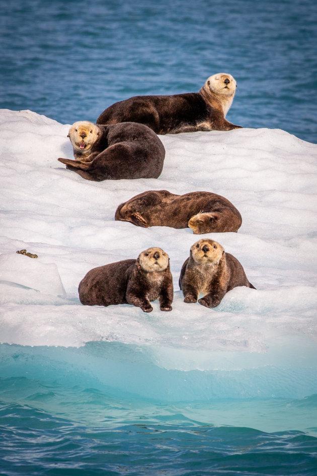 Zeeotters in de Prince William Sound