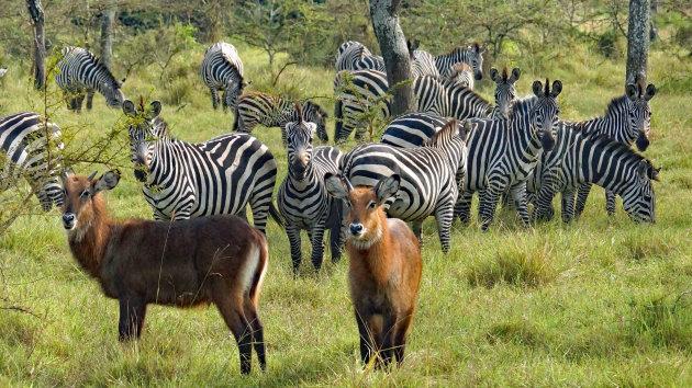 Wandelsafari tussen de zebra's