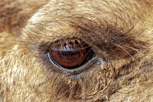 Kamelen oog