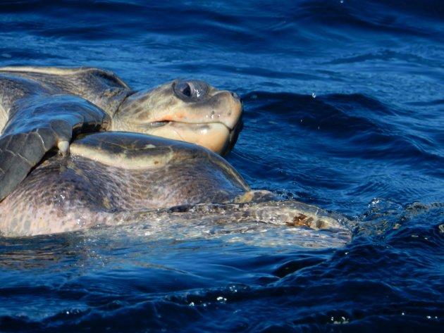 Parende schildpadden