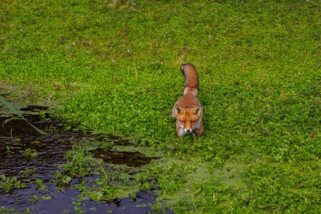Dappere jonge vos.