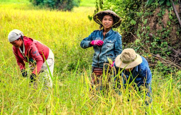 Rijstschatten uit laos