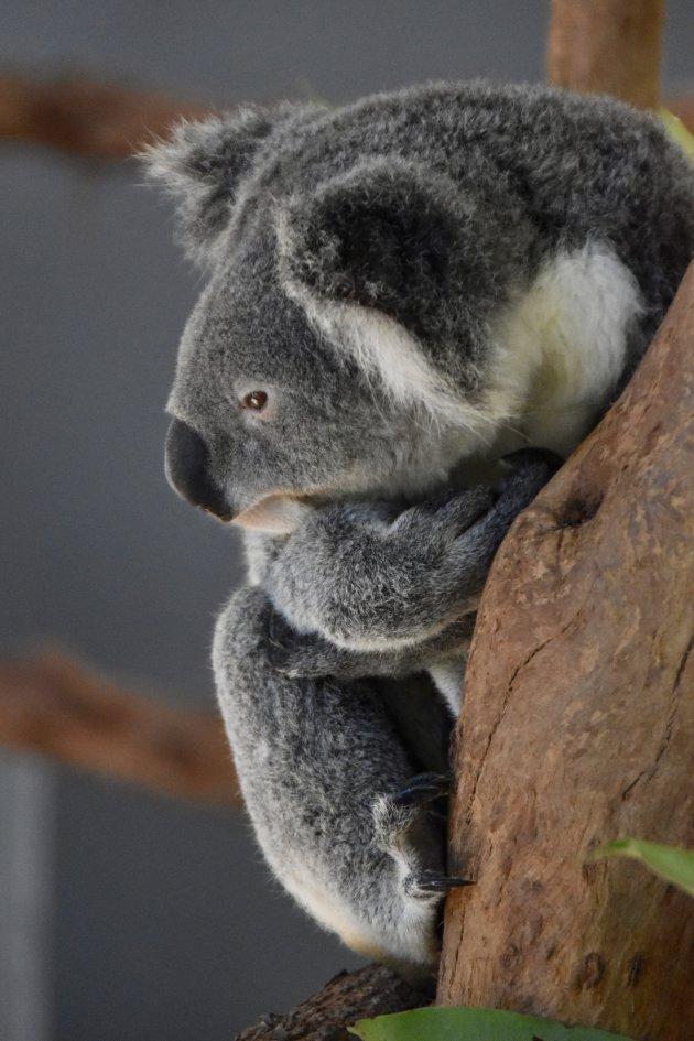 Koala bewonderen