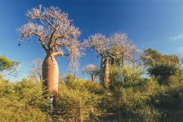 De verschillende baobabbomen