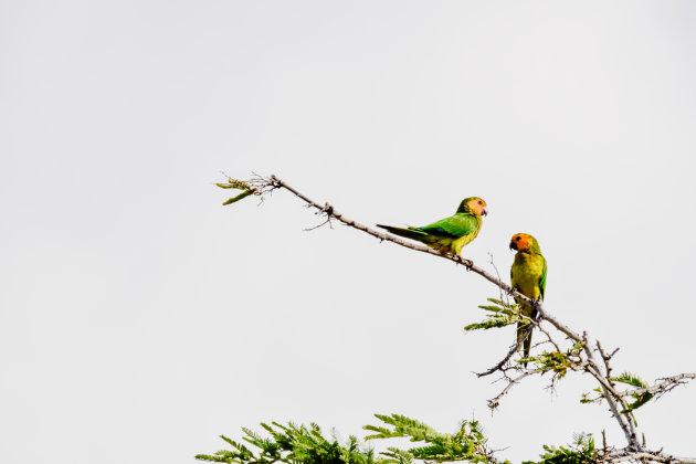Brown throated parakeet