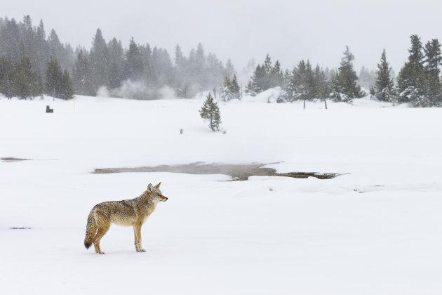 Coyote in het sneeuwlandschap