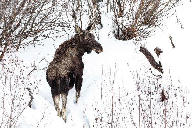 Jonge eland in de sneeuw
