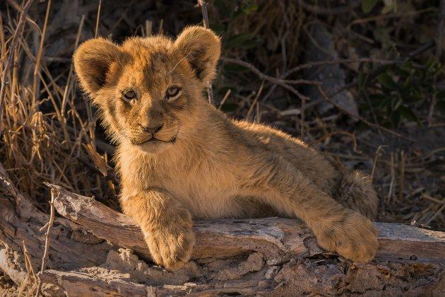 Alerte leeuwenwelp