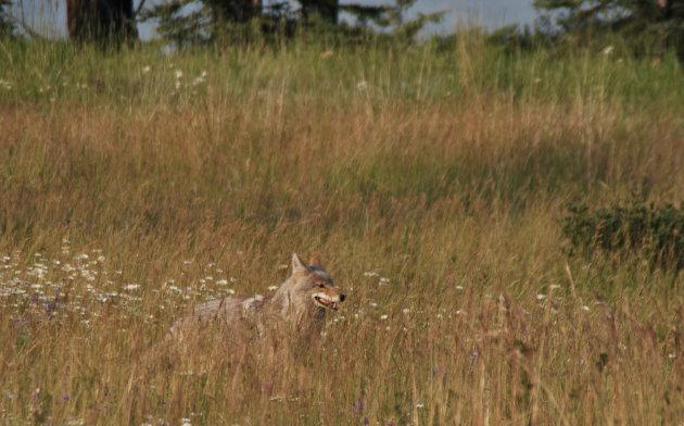 Coyote in Jasper NP