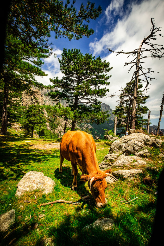 Milka koe op Corsica?