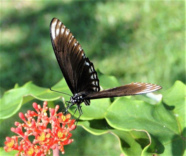 Vlinder hoog in de bergen.
