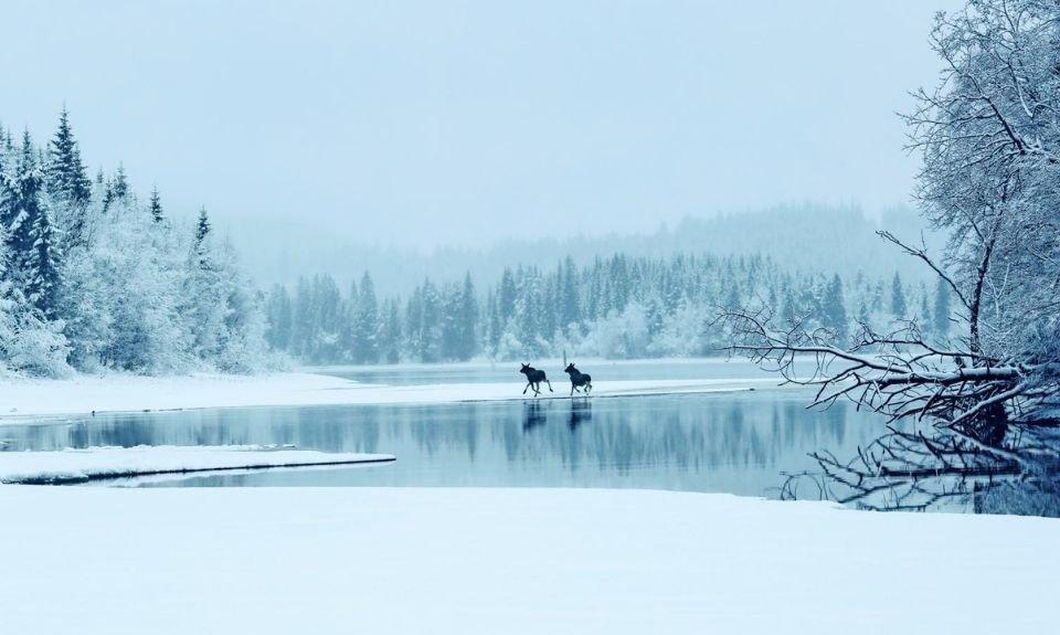 elanden in nationaal park Rago Noorwegen
