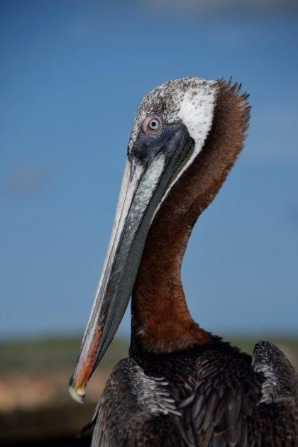 Vrienden met een pelikaan op Curaçao
