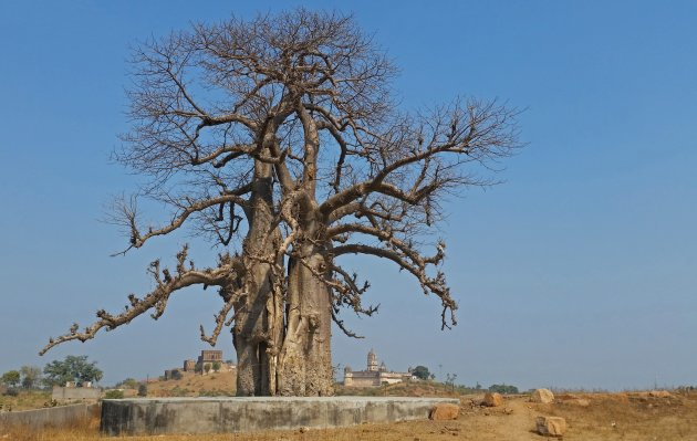 Oude baobab in India