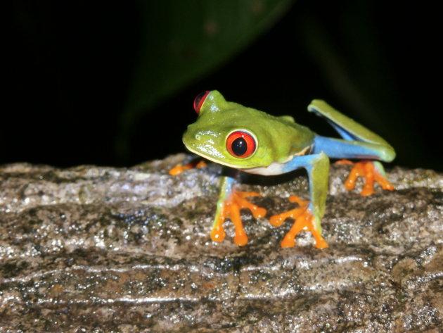 Zoveel dieren gezien in Costa Rica en deze kleine kikkertjes maakten toch het meeste indruk ...