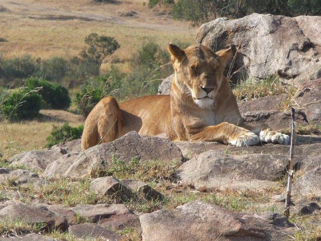 Leeuw in Masai Mara, een van de grootste parken van Kenia