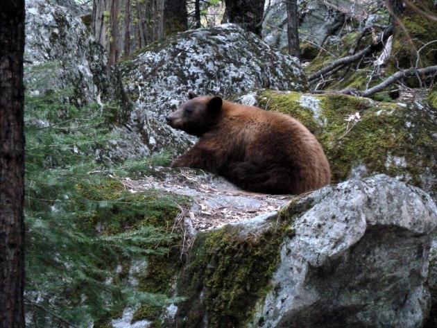 Een beer tegenover onze camping in Yosemite NP California