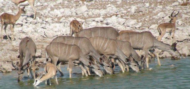 Drinkende kudu's
