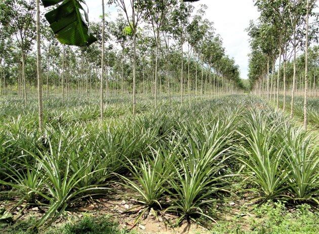 Ananas plantage.