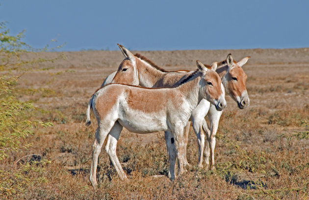 Trio wilde ezels