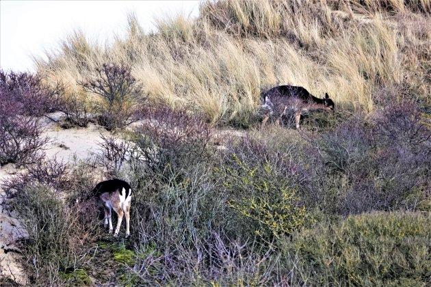 Duingebied met herten