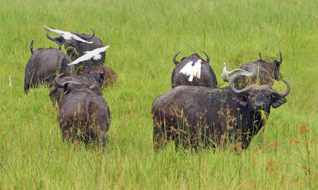Hou de buffels in de gaten