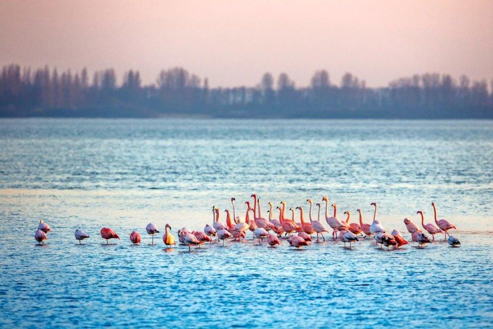 Flamingo's_Nederland