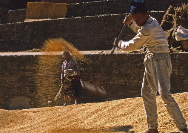 Het drogen van de rijstoogst in de openlucht