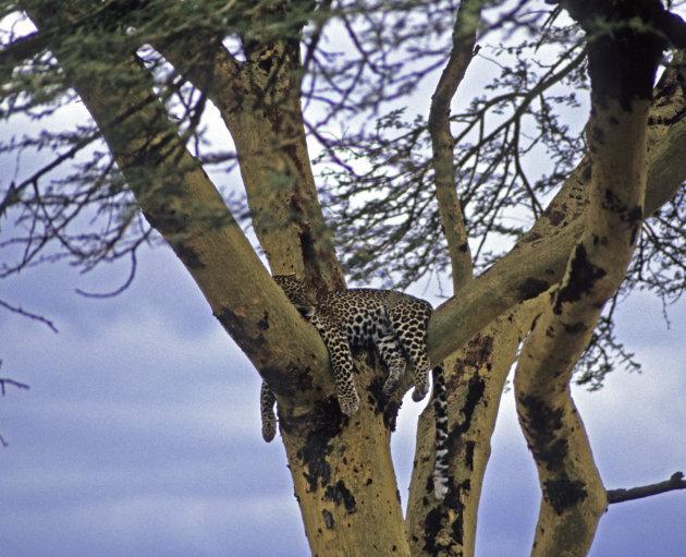 Luipaard in de Serengeti NP Tanzania
