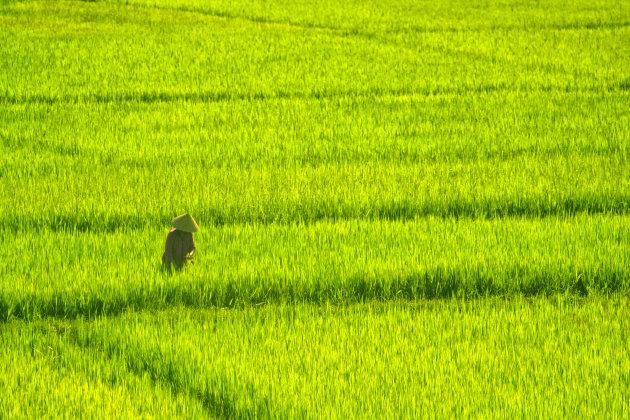 Rijstplukker