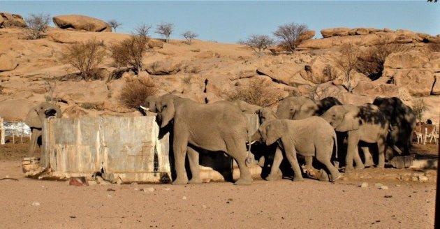 Woestijn olifanten- het doel is bereikt