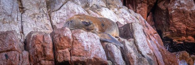 Patagonische zeeleeuw - Niemand doet mij wat...