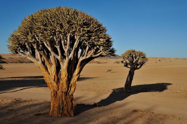 Kokerboom ( Quivertree ) met eenzame Oryx in  Zuid Namibië