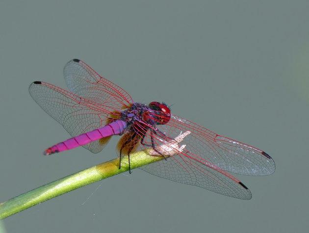 Mooie libelle