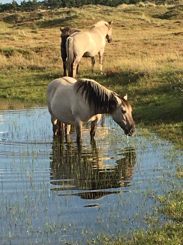 Paarden in de duinen.
