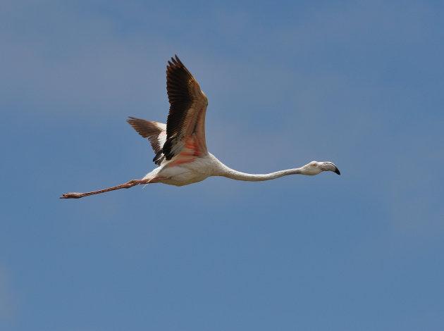 Flamingo's spotten bij de lagune van Walvisbaai in Namibië