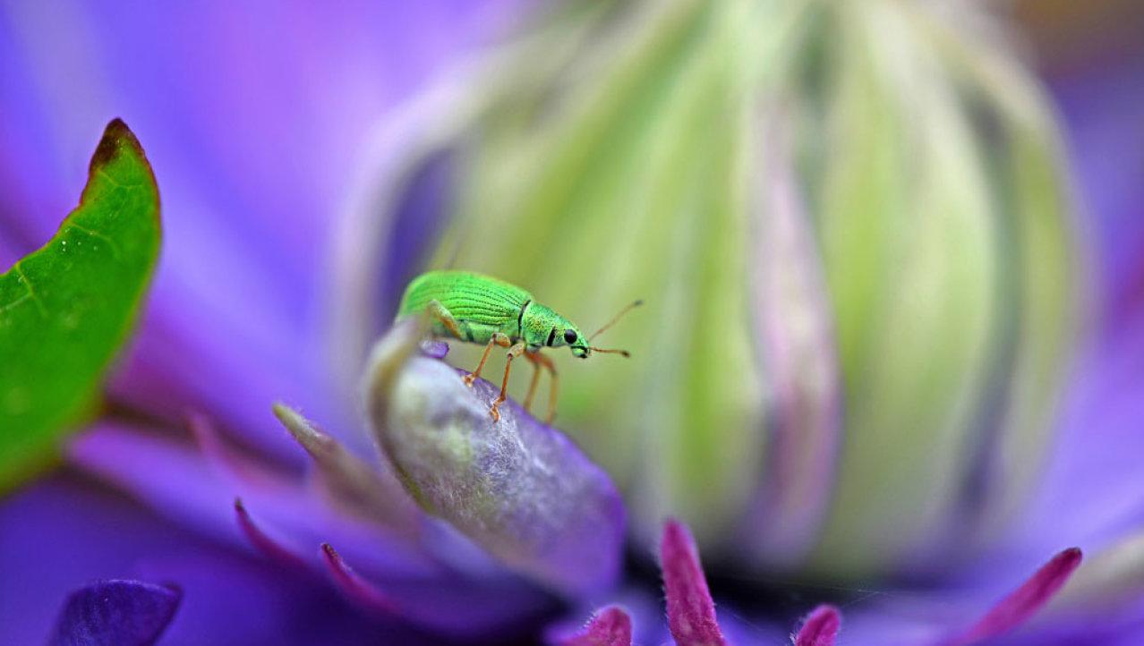 Groene snuitkever op een paarse clematis