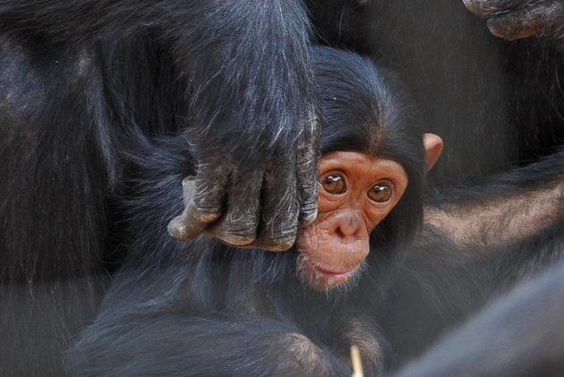 Chimfunshi Wildlife Orphanage / sanctuary for Chimpanzees , Zambia