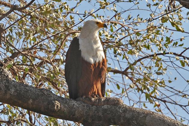African Fish Eagle -Liwonde NP Malawi