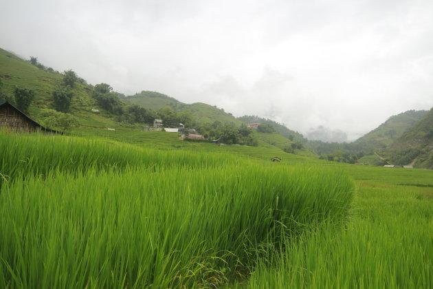 Rijstvelden in de regen
