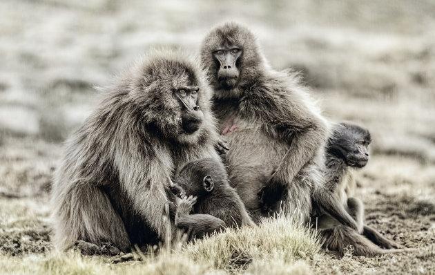 Ethiopië simien Gebergte Gelada Bavianen