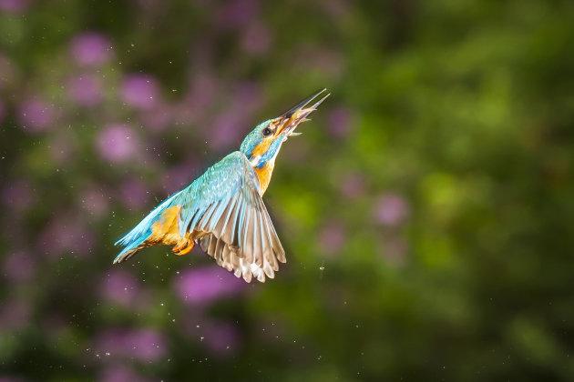 IJsvogel in de vlucht
