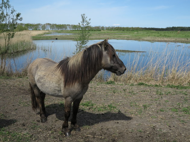 Konikpaard  , Oostvaardersplassen , Flevoland