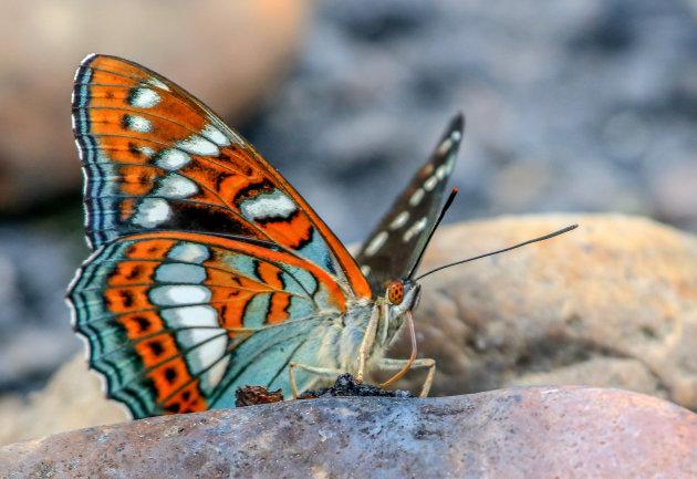 Veel vlinders.