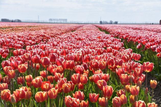 Tulpen route Noordoostpolder
